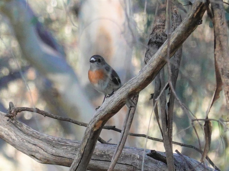 Petroica boodang at Red Hill Nature Reserve - 17 May 2020