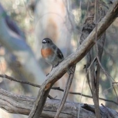Petroica boodang (Scarlet Robin) at Red Hill Nature Reserve - 17 May 2020 by JackyF
