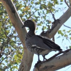 Chenonetta jubata (Australian Wood Duck) at Red Hill Nature Reserve - 15 May 2020 by JackyF