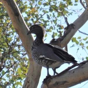 Chenonetta jubata at Red Hill Nature Reserve - 15 May 2020