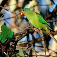 Lathamus discolor (Swift Parrot) at Mount Majura - 9 Apr 2005 by Harrisi