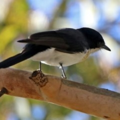 Myiagra inquieta (Restless Flycatcher) at Greenway, ACT - 17 May 2020 by RodDeb