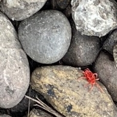 TROMBIDIIDAE (Red velvet mite) at FS Private Property - 18 May 2020 by Stewart