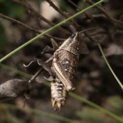 Monistria concinna (Southern Pyrgomorph, Southern Gaudy Grasshopper) at Tidbinbilla Nature Reserve - 16 May 2020 by Jek