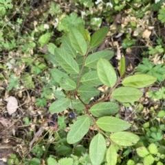 Breynia oblongifolia (Coffee Bush) at FS Private Property - 18 May 2020 by Stewart