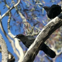 Corcorax melanorhamphos (White-winged Chough) at Mount Ainslie - 15 May 2020 by jbromilow50