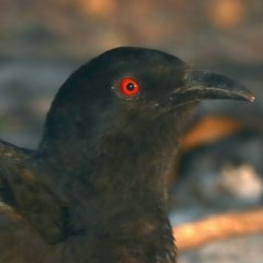 Corcorax melanorhamphos at Mount Ainslie - 15 May 2020