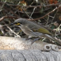 Caligavis chrysops (Yellow-faced Honeyeater) at Black Range, NSW - 16 Aug 2019 by AndrewMcCutcheon