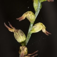 Corunastylis sp. (A midge orchid) at Jerrabomberra, NSW - 15 May 2020 by DerekC