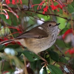 Acanthiza pusilla (Brown Thornbill) at Black Range, NSW - 27 Jul 2017 by AndrewMcCutcheon