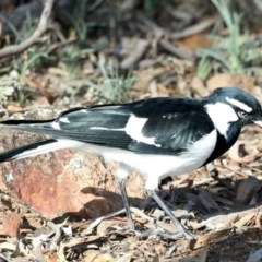 Grallina cyanoleuca (Magpie-lark) at Mount Ainslie - 15 May 2020 by jbromilow50
