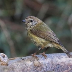 Acanthiza lineata (Striated Thornbill) at Black Range, NSW - 19 Nov 2017 by AndrewMcCutcheon