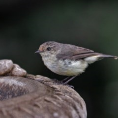 Acanthiza reguloides (Buff-rumped Thornbill) at Black Range, NSW - 29 Dec 2017 by AndrewMcCutcheon