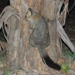 Trichosurus vulpecula (Common Brushtail Possum) at Gigerline Nature Reserve - 17 May 2020 by michaelb