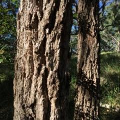 Eucalyptus paniculata (Grey Ironbark) at Guerilla Bay, NSW - 15 May 2020 by annielane