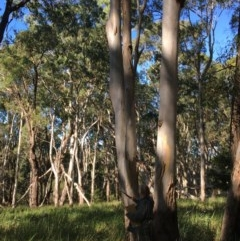 Eucalyptus tereticornis (Forest Red Gum) at Guerilla Bay, NSW - 15 May 2020 by annielane