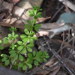 Galium aparine (Goosegrass, Cleavers) at Wamboin, NSW - 20 Apr 2020 by natureguy