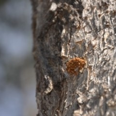 Hexagonia vesparia (Wasp Nest Polypore) at Wamboin, NSW - 20 Apr 2020 by natureguy