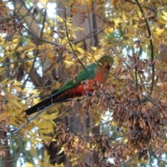 Alisterus scapularis (Australian King-Parrot) at Red Hill Nature Reserve - 19 May 2020 by JackyF