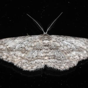 Phelotis cognata at Ainslie, ACT - 18 May 2020