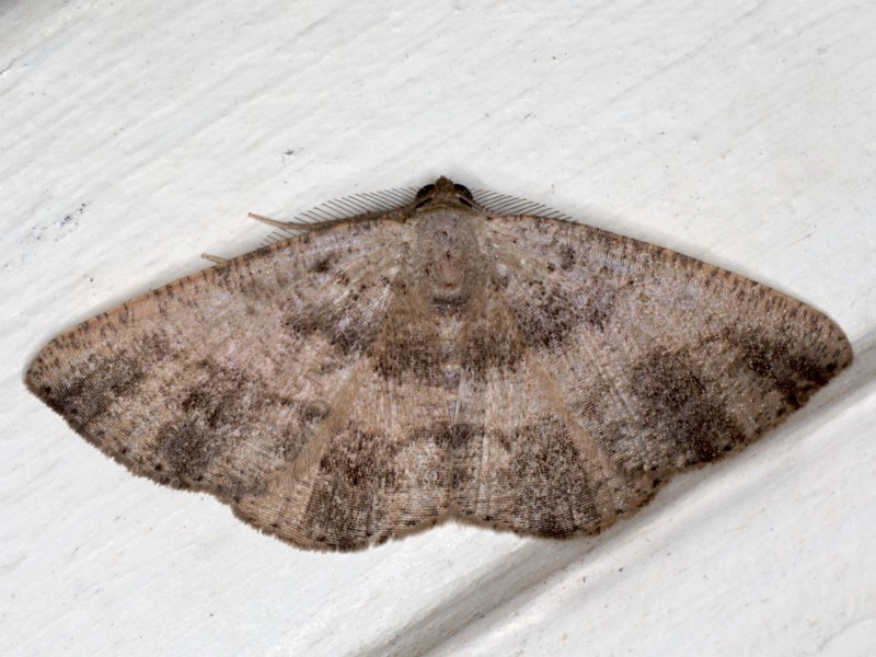 Casbia sp. (genus) at Ainslie, ACT - 18 May 2020