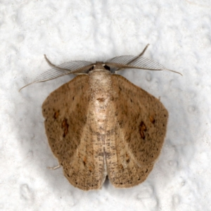 Casbia farinalis at Ainslie, ACT - 18 May 2020