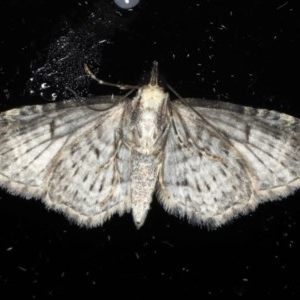 Pasiphilodes testulata at Ainslie, ACT - 18 May 2020