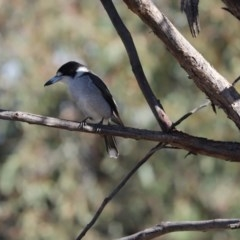 Cracticus torquatus (Grey Butcherbird) at Mount Painter - 19 May 2020 by Tammy