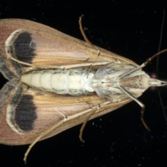 Uresiphita ornithopteralis at Ainslie, ACT - 19 May 2020