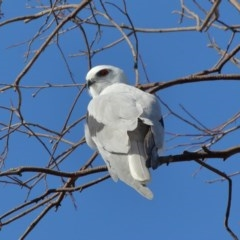 Elanus axillaris (Black-shouldered Kite) at Jerrabomberra Wetlands - 17 May 2020 by Tim L