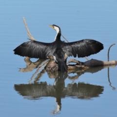 Microcarbo melanoleucos at Jerrabomberra Wetlands - 17 May 2020