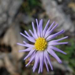 Brachyscome rigidula (Hairy cut-leaf daisy) at Wandiyali-Environa Conservation Area - 19 May 2020 by Wandiyali