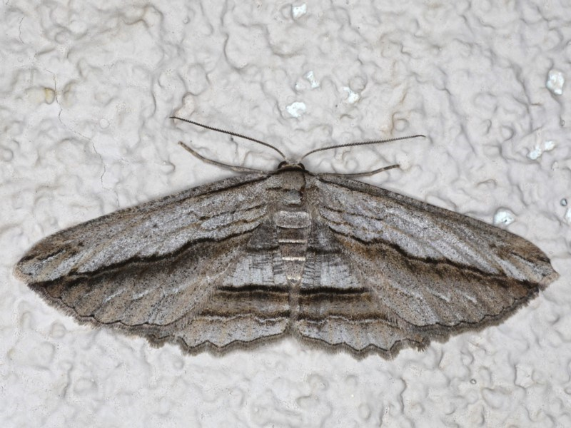 Euphronarcha luxaria at Ainslie, ACT - 19 May 2020