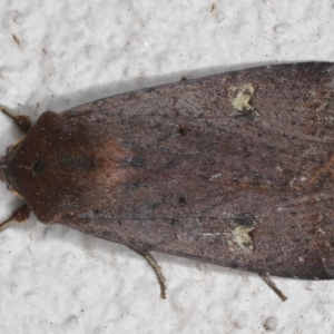 Diarsia intermixta at Ainslie, ACT - 19 May 2020