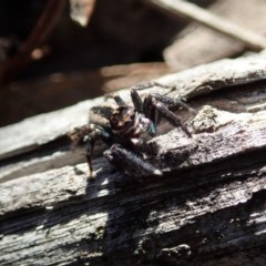 Jotus auripes (Jumping spider) at Aranda Bushland - 15 May 2020 by CathB