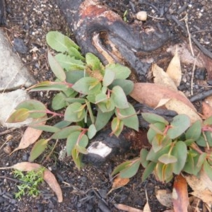 Eucalyptus pauciflora subsp. debeuzevillei at Namadgi National Park - 19 May 2020