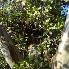 Muellerina eucalyptoides (Creeping Mistletoe) at Isaacs Ridge - 18 May 2020 by Mike