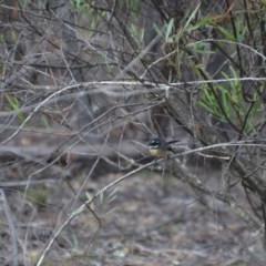 Rhipidura albiscapa (Grey Fantail) at Wamboin, NSW - 20 Apr 2020 by natureguy