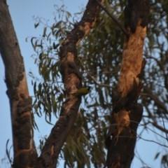 Nesoptilotis leucotis (White-eared Honeyeater) at Wamboin, NSW - 20 Apr 2020 by natureguy