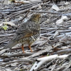 Zoothera lunulata (Bassian Thrush) at ANBG - 19 May 2020 by RodDeb