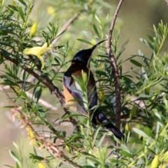 Acanthorhynchus tenuirostris at ANBG - 19 May 2020