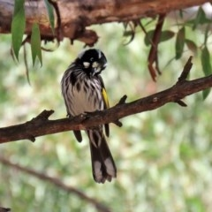 Phylidonyris novaehollandiae (New Holland Honeyeater) at ANBG - 19 May 2020 by RodDeb