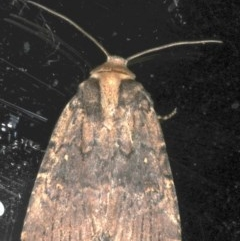 Proteuxoa nycteris (A Noctuid moth) at Ainslie, ACT - 18 May 2020 by jbromilow50