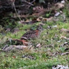 Turnix varius (Painted Button-quail) at Black Range, NSW - 28 Oct 2016 by AndrewMcCutcheon