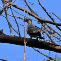 Lopholaimus antarcticus (Topknot Pigeon) at Black Range, NSW - 19 Nov 2017 by AndrewMcCutcheon