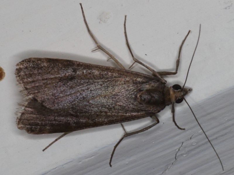 Achyra affinitalis at Ainslie, ACT - 20 May 2020