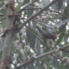Myzomela sanguinolenta (Scarlet Honeyeater) at Budgong, NSW - 17 Jan 2020 by Ry