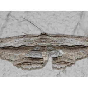Euphronarcha luxaria at Ainslie, ACT - 20 May 2020