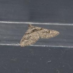 Phrissogonus laticostata (Apple looper moth) at Higgins, ACT - 21 May 2020 by AlisonMilton