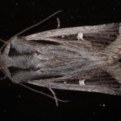 Proteuxoa undescribed species near paragypsa (A Noctuid moth) at Ainslie, ACT - 20 May 2020 by jbromilow50